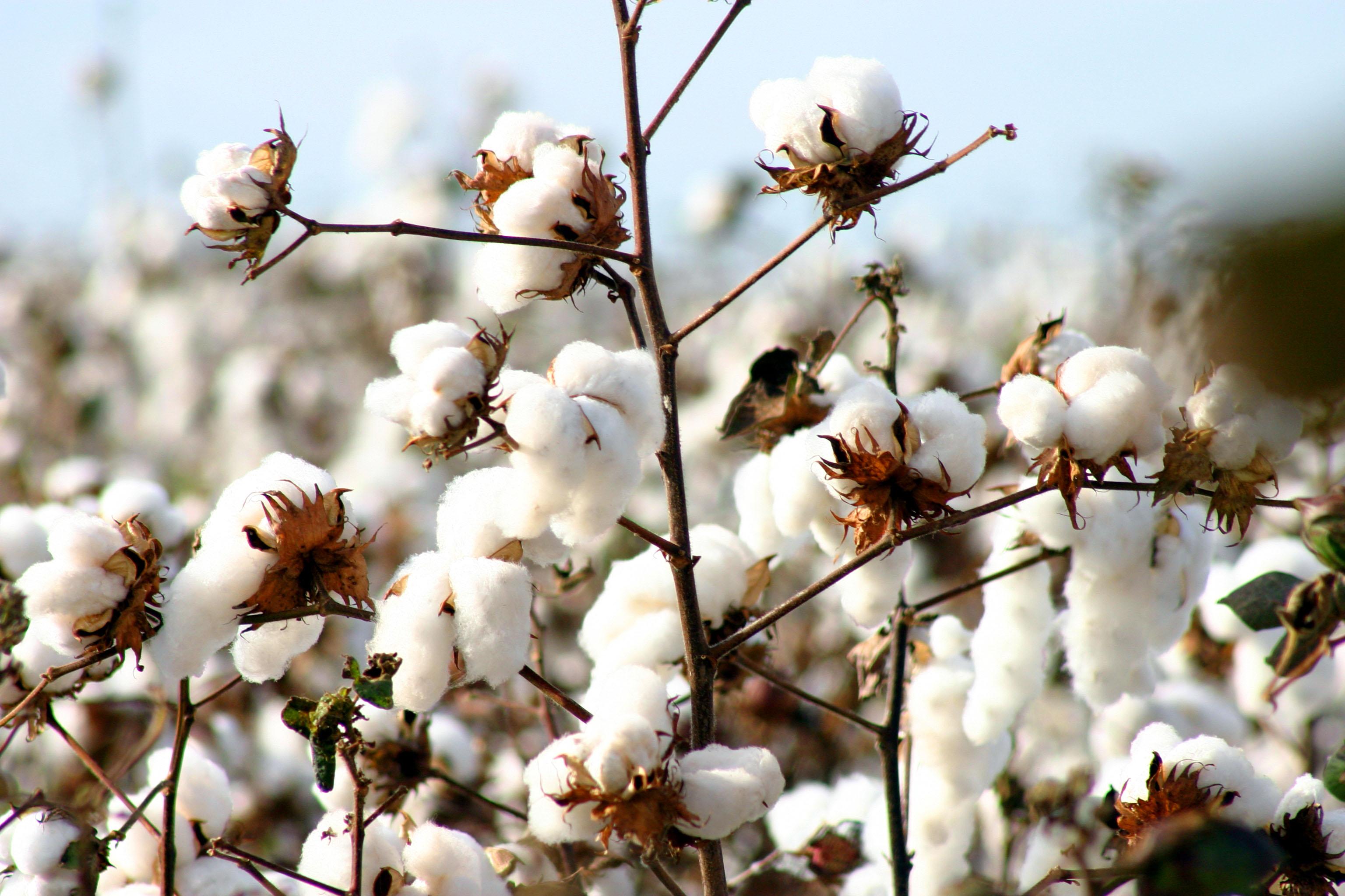 algodao-cotton-campo-verde-1409593