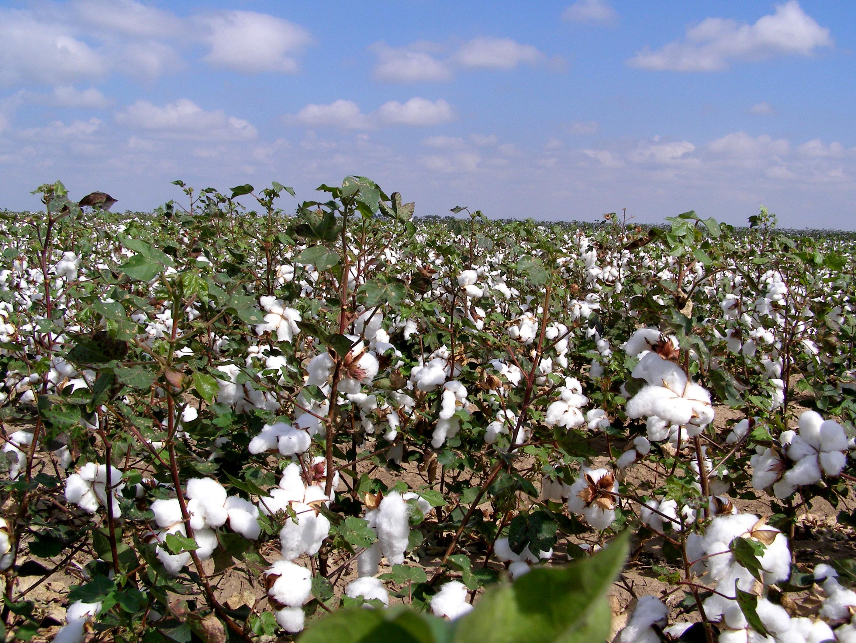 west-texas-cotton-1361909